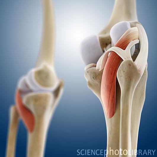 Анотомия подколенной мышцы